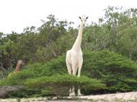 Bardzo rzadkie białe żyrafy zabite przez kłusowników