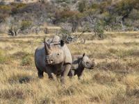 Rośnie liczba afrykańskich nosorożców czarnych