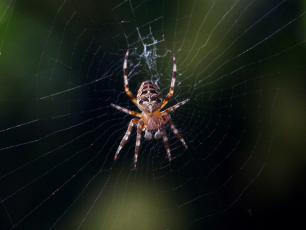 Najbardziej jadowity wśród jadowitych pająków?