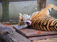 Tygrys w zoo zakażony koronawirusem