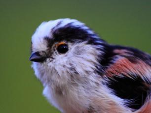 Raniuszek – ptak z waty cukrowej