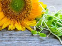 Kiełki słonecznika wspomogą siły obronne organizmu!