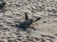 Żółwie morskie mają się coraz lepiej