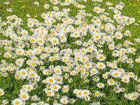 Margaretki – łąkowe kwiaty do przydomowego ogródka