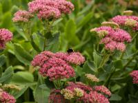 Rozchodniki –  najbardziej eleganckie i zjawiskowe rośliny ogrodowe