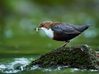 Ptaki spożywają setki kawałków plastiku dziennie