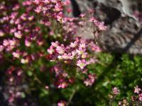 Skalnice – Skalnice to piękne rośliny nie tylko na skalniak