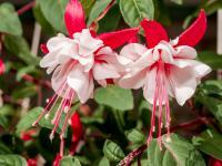 Fuksje – kwiaty zdecydowanie warte wysiłku!
