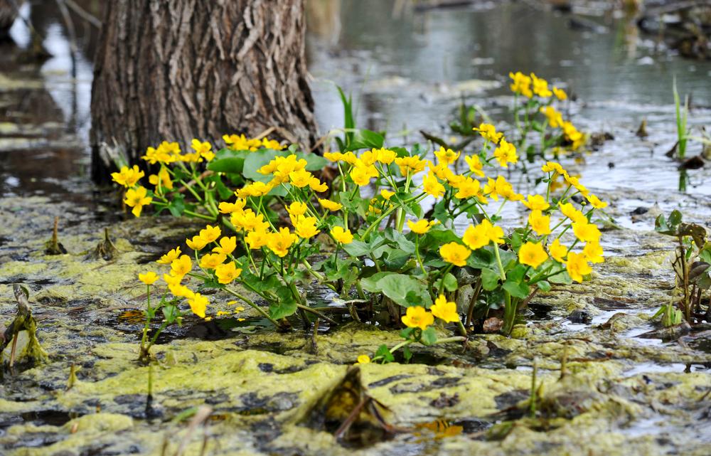 Kaczeńce kwiaty – sadzenie, uprawa i pielęgnacja kaczeńców