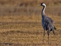 Ukrzyżowany żuraw miał odstraszać ptaki przed niszczeniem upraw