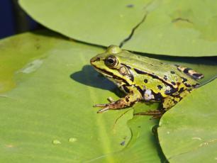 Żaba jeziorkowa – opis, występowanie i zdjęcia. Płaz żaba jeziorkowa ciekawostki