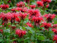 Bergamotki (pysznogłówki) kwiaty - sadzenie, uprawa i pielęgnacja bergamotek