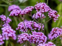 Werbena – subtelne, pachnące kwiaty na całe lato