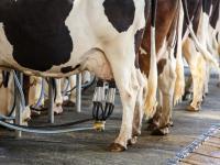 Jak bardzo produkcja mleka obciąża środowisko?