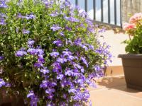 Lobelie kwiaty – sadzenie, uprawa i pielęgnacja lobelii