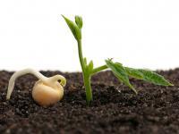 Kiełki grochu – wegetariański przysmak z ciekawym zielonym wariantem