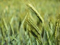 Mąka pszenżytnia – właściwości, skład i zastosowanie mąki pszenżytniej