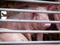 """W Chinach zidentyfikowano nowy szczep świńskiej grypy o """"potencjale pandemii"""""""