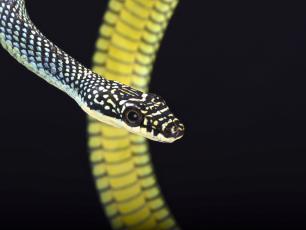 Latające węże? Oto jak mogą szybować w powietrzu