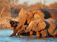 W Botswanie masowo umierają słonie i nikt nie wie dlaczego