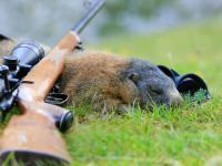 Rosja rozprawia się z polowaniem na świstaki po podejrzeniu przypadków dżumy dymieniczej