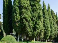 Cyprys roślina – sadzenie, uprawa i pielęgnacja cyprysa