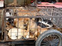 Siem Reap, to pierwsza prowincja Kambodży, która zakazuje sprzedaży i konsumpcji psiego mięsa