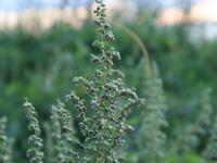 Bylica, czyli lecznicza roślina ogrodowa