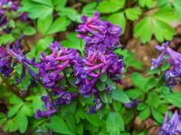 Kokorycze – oryginalne kwiaty cienia