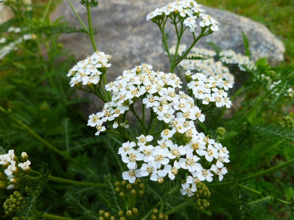 Krwawniki kwiaty – sadzenie, uprawa i pielęgnacja krwawników