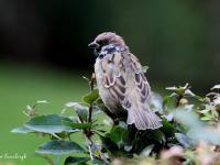 Mazurek - ptak z wieloma problemami
