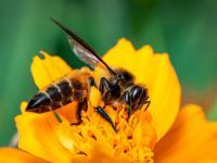 Brudne powietrze zabija pszczoły miodne!