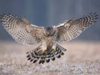 Jastrząb - opis, występowanie i zdjęcia. Ptak jastrząb ciekawostki