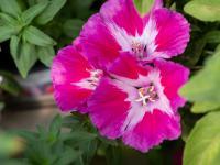 Godecje kwiaty – sadzenie, uprawa i pielęgnacja godecji