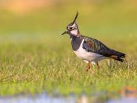 Czajka ‒ opis, występowanie i zdjęcia. Ptak czajka ciekawostki