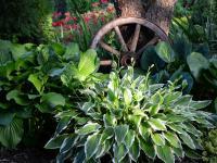 Funkia (hosta) roślina – sadzenie, uprawa i pielęgnacja funkii