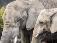 Zestresowane słonie w warszawskim zoo otrzymają medyczną marihuanę