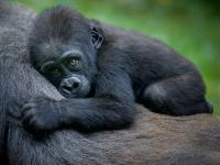 Prawdziwy baby boom u zagrożonych wyginięciem goryli górskich