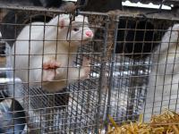 Czy dzięki PiS zostanie wprowadzony zakaz hodowli zwierząt na futra?