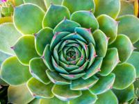 Rojniki w ogrodzie – sadzenie, uprawa i pielęgnacja rojników