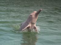Rzadkie delfiny wracają do Hongkongu
