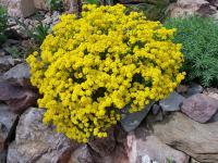 Smagliczki kwiaty – sadzenie, uprawa i pielęgnacja smagliczek