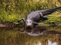 Aligator na gazie zdobywa nagrodę Ig Nobla