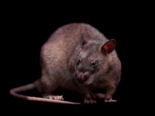 Magawa, szczur wykrywający miny odznaczony Złotym Medalem PDSA