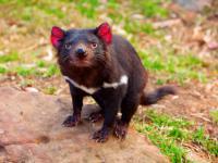 Wielki powrót diabła tasmańskiego