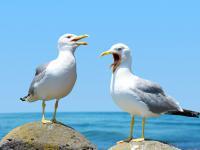 Mewy ‒ opis, występowanie i zdjęcia. Mewy ptaki ciekawostki