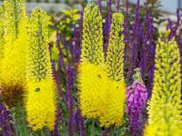 Pustynniki kwiaty – sadzenie, uprawa i pielęgnacja pustynników