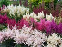 Tawułki – piękne kwiaty strefy cienia