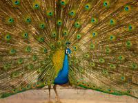 Paw indyjski ‒ ptak pełen wdzięku