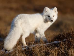 Lis polarny – czy przechytrzy zmiany klimatu?
